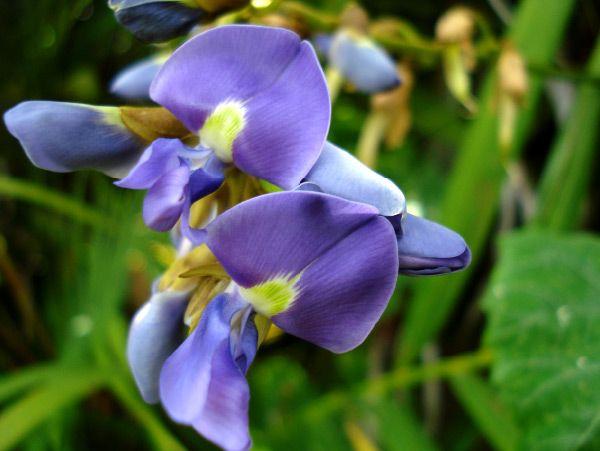 Jicama Flower